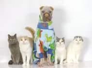 Portrait of cute shar pei dog and cats sitting together on white background — Stock Photo