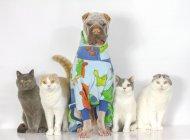 Retrato de Linda shar pei perro y gatos sentados juntos sobre fondo blanco - foto de stock
