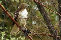 Hunting hawk sitting on tree branch, USA, Colorado — Stock Photo