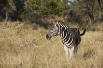 Zebra in wild, South Africa, Limpopo, Kruger National Park — Stock Photo