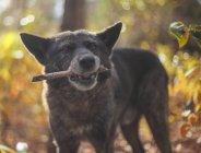 Собака держит палку в рот, крупным планом — стоковое фото