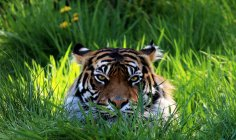 Tiger lying in grass and looking at camera — Stock Photo