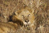 Majestuoso León tumbado en la hierba larga en naturaleza salvaje - foto de stock