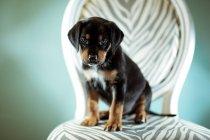 Милий щеня собака, сидячи на стільці — стокове фото