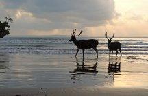 Силует олень, ходьба на пляжі, Pangandaran, West Java, Індонезії — стокове фото