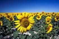Живописный вид на синее небо выше поле подсолнечника — стоковое фото
