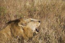 Perigoso majestoso Leão rugindo na natureza selvagem — Fotografia de Stock