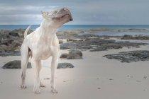 Glabres Shair pei chien se tenant sur la plage — Photo de stock