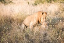 Dois leões juntos na grama longa — Fotografia de Stock