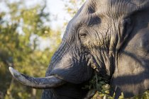 Close-up side view of Wild African Elephant — Stock Photo