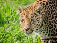 Close-up di standing leopardo cauti sull'erba — Foto stock