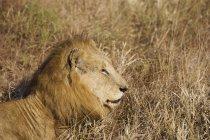 Majestätischen Löwen liegen lange Gras in die wilde Natur — Stockfoto
