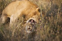 Due leoni insieme in erba lunga — Foto stock