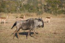 Wildebeest cammina sul campo con i cervi su sfondo sfocato, Sud Africa — Foto stock