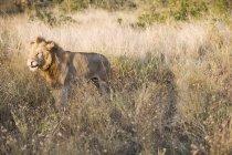 Pé de leão majestoso na grama longa na natureza selvagem — Fotografia de Stock