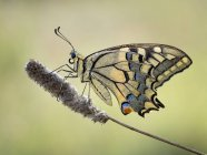 Macro disparo de machaon mariposa contra fondo borroso - foto de stock