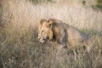Schöner Löwe steht im Gras an wilder Natur — Stockfoto