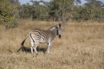Side view of wild african zebra standing in grass and looking at camera — Stock Photo