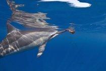 Spinner-Delfin schwimmt unter Wasser im Ozean — Stockfoto