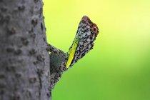 Nahaufnahme von Draco auf Baumstamm sitzend — Stockfoto