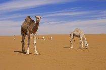 Saudi Arabien, Sahara, Kamele in der Wüste — Stockfoto