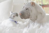 Close-up side view of cute shar-pei dog and cat lying together on white carpet face to face — Stock Photo