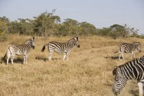 South Africa, Limpopo, Kruger National Park, Zebras in wild — Stock Photo