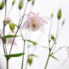 Nahaufnahme von rosa Blumen auf weißem Hintergrund — Stockfoto