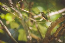 Female Ruby-throated Hummingbird sitting on a branch against blurred background — Stock Photo