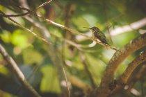 Colibrì Rubino - throated femminile seduta su un ramo contro sfondo sfocato — Foto stock
