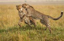 Deux guépardmajestueux majestueux se battant dans l'herbe ensemble — Photo de stock