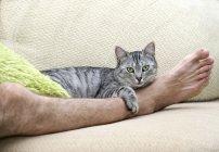 Серый кот лежит на мужской ноге у дивана — стоковое фото