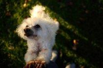 Cão de Bichon Frise que eleva acima de implorar, opinião do close up — Fotografia de Stock