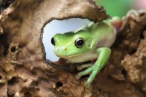 Dumpy frog sitting on a tree, closeup view — Stock Photo