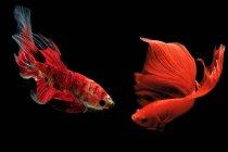 Close-up vista de majestosos peixes betta no fundo preto — Fotografia de Stock