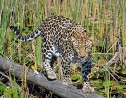Мальовничий вид леопарда ходьба по колоди в болоті, Національний парк Чоб, Ботсвана — стокове фото