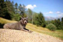 Chihuahua bleu couché sur une balle de foin au soleil — Photo de stock