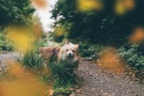 Chorkie dog walking in green forest, closeup view — стокове фото