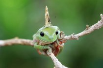 Mariposa sentada en una rana de árbol, vista de cerca - foto de stock
