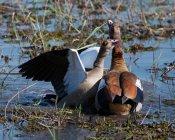 Zwei wilde Enten in einem See, Botswana gefangen in wilder Natur — Stockfoto