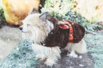 Chorkie Dog wearing a Christmas reindeer outfit, closeup view — стоковое фото
