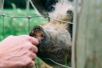 Woman stroking a pig through fence — Stock Photo