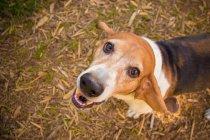 Basset гончак собака дивлячись, крупним планом — стокове фото