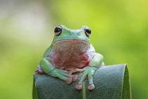 Dumpy frog sitting on leaf, closeup view — Stock Photo