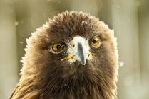 Portrait of a bald eagle, blurred background — Stock Photo