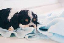 Кокер спаниель Щенок щенок спит на одеяле — стоковое фото