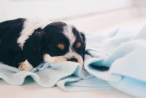 Кокер спаниель щенок собака спит на одеяло — стоковое фото