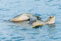 Tartarughe marine verdi che si accoppiano in acqua oceanica — Foto stock