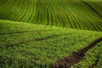 Крупный план пшеничного поля, Куккаро Монферрато, Пьемонт, Италия — стоковое фото