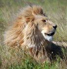 Ritratto della testa di leone maschio maestoso — Foto stock